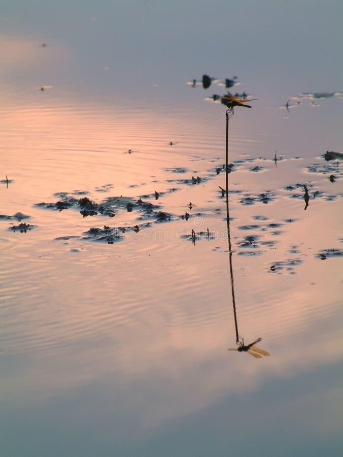Riflessione della libellula fotografia stock libera da diritti