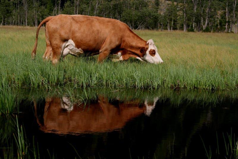 Riflessione della mucca immagine stock libera da diritti