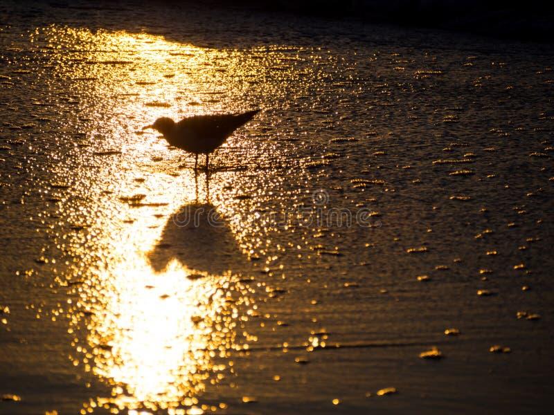 Riflessione di alba in acqua dell'oceano con la siluetta dell'uccello fotografie stock libere da diritti