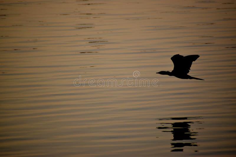 Riflessione di Silhoutte del cormorano indiano immagini stock