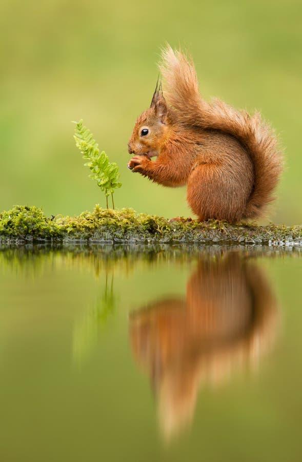Riflessione di uno scoiattolo rosso fotografia stock