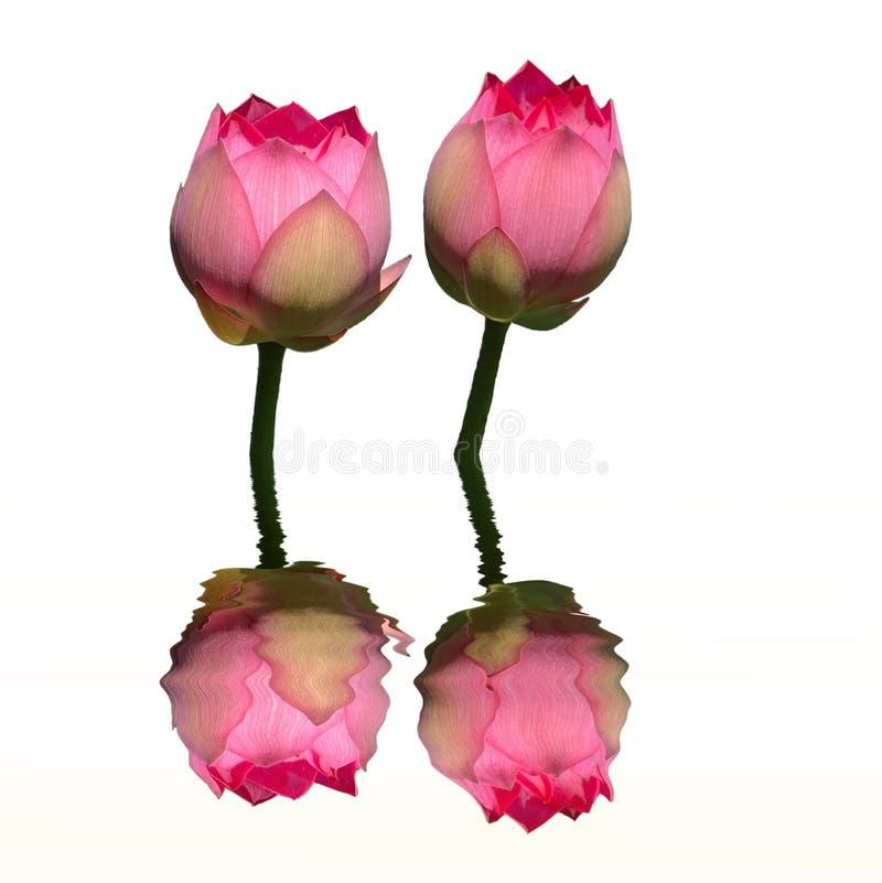 Riflessione gemellare dell'acqua del loto immagini stock libere da diritti