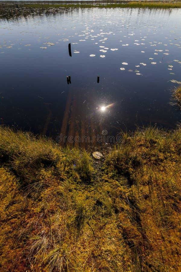 Riflessione nella palude vicino all'abetaia a mezzogiorno, Carelia, Russia immagine stock
