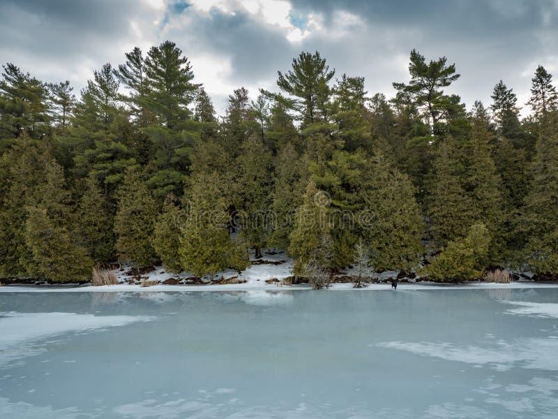 Riflessioni 2 Cedar Forest Beside Frozen Marsh di disgelo di inverno fotografia stock libera da diritti