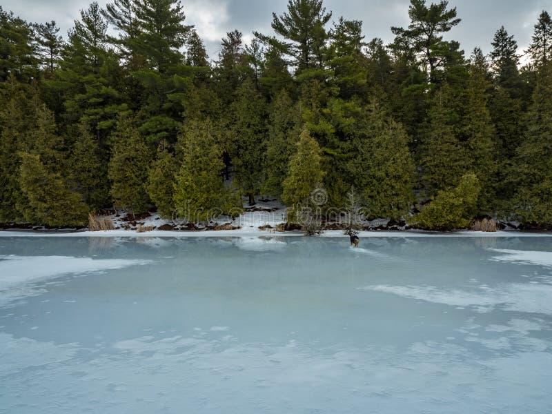 Riflessioni 8 Cedar Forest Beside Frozen Marsh di disgelo di inverno fotografia stock libera da diritti