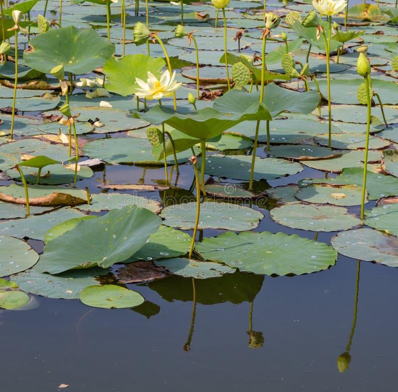 Riflessioni della ninfea sulle acque di Carter Lake Iowa fotografia stock