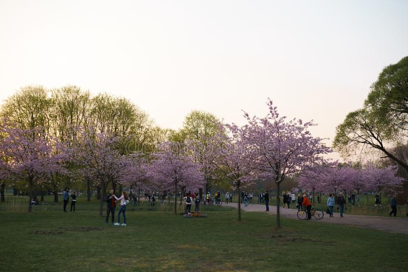 RIGA, LETÓNIA - 24 DE ABRIL DE 2019: Povos no parque da vitória que apreciam a flor de cerejeira de sakura - canal da cidade com  fotografia de stock royalty free