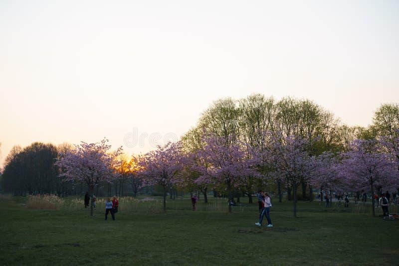 RIGA, LETTONIE - 24 AVRIL 2019 : Personnes en parc de victoire appr?ciant les fleurs de cerisier de Sakura - canal de ville avec  photographie stock libre de droits