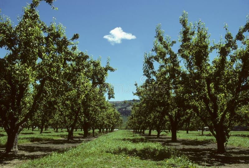 Righe degli alberi di pera in un frutteto fotografie stock libere da diritti