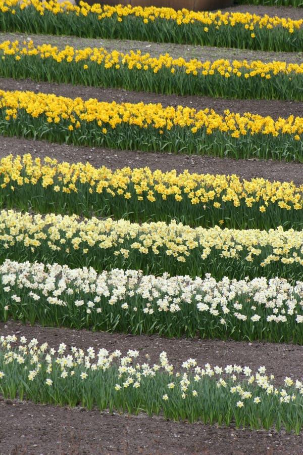 Download Righe dei Daffodils immagine stock. Immagine di colore - 3140419