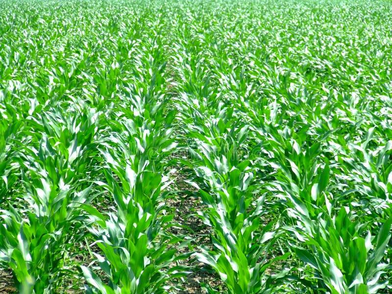 Righe del campo del cereale fotografie stock libere da diritti