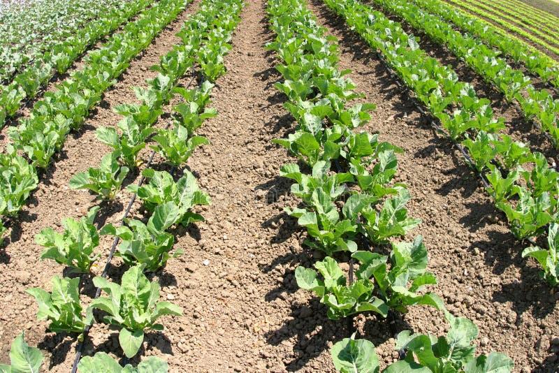 Download Righe del raccolto immagine stock. Immagine di agricoltura - 202337