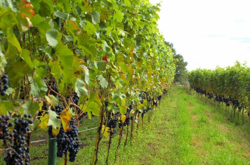 Download Righe Dell'uva Del Vino Rosso Fotografia Stock - Immagine di frondeggia, squisito: 3128202
