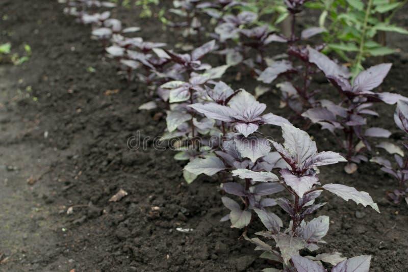 Righe di piante di basilico rosso ecologico nel giardino di primavera fotografia stock libera da diritti