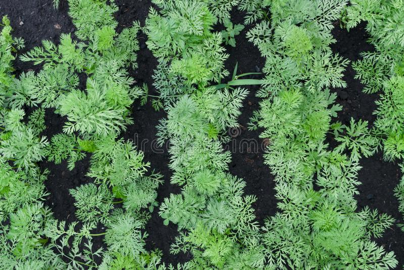 Righe di piante di carota giovani in giardino primaverile immagini stock