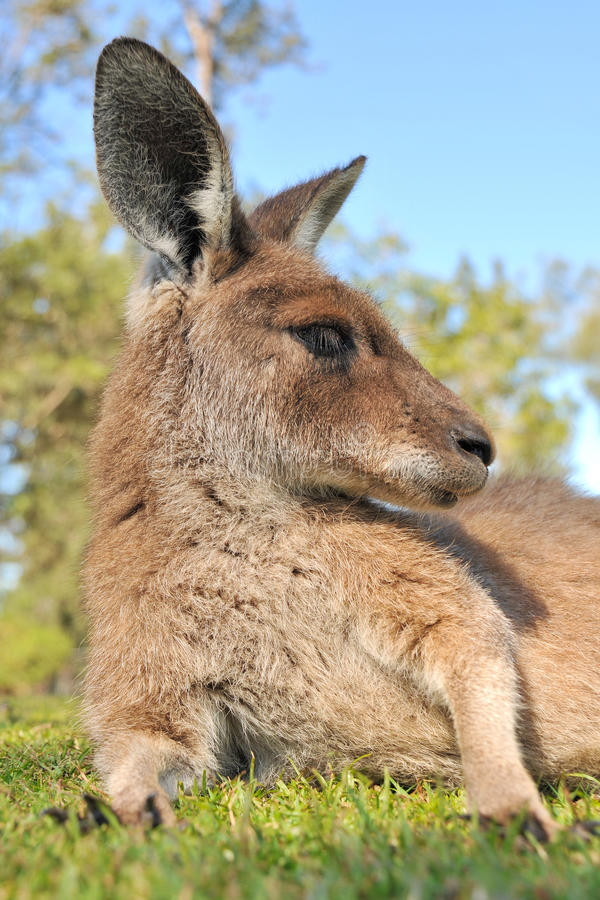 Right portrait about a resting kangaroo. From frog perspective stock photography