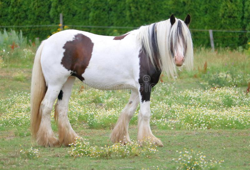 Right Profile View of Clydesdale Horse. Originating from Scotland, the right profile view of an adult Clydesdale horse stock photo