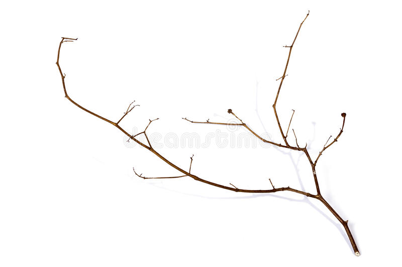 Right Side Shot of Twig of Dry Dead Plant. Above right side view studio shot of twig of dry dead plant on white background royalty free stock images