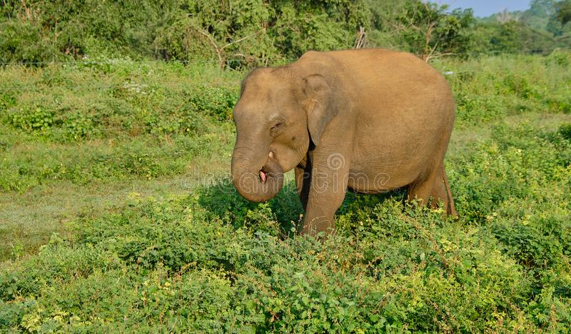 Elephant on safari in Sri Lanka royalty free stock photo