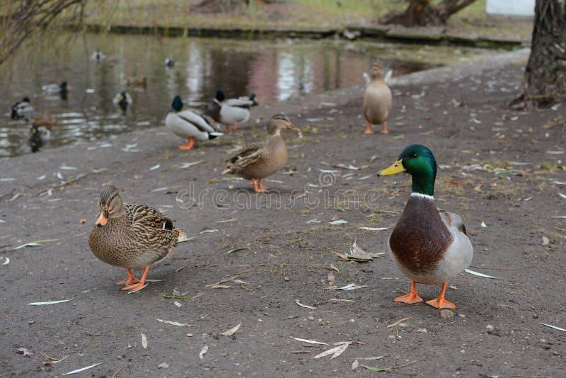 Wild Duck - Anas platyrhynchos, also called breznacka royalty free stock photos