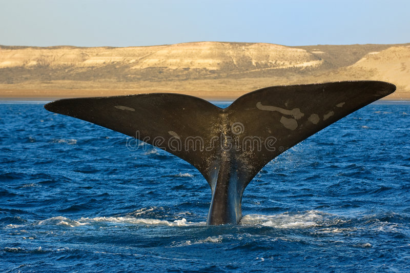Right whale in Patagonia, Argentina. Right whale in Puerto Piramides, Peninsula Valdes, Patagonia, Argentina