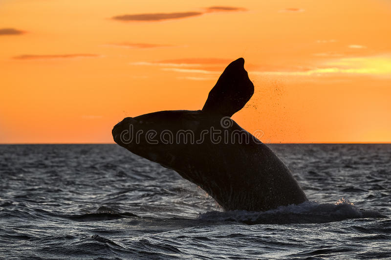 Right Whale, Patagonia , Argentina stock photo