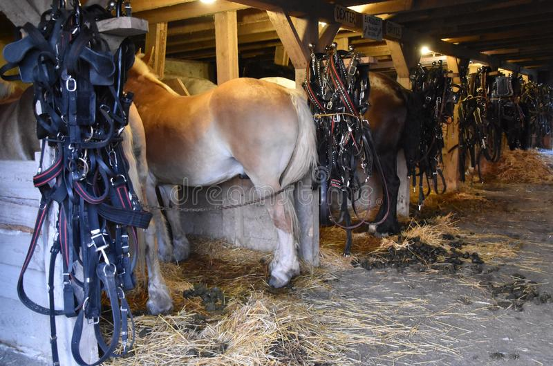 Rij die van Belgische paarden zich in boxen bevinden stock fotografie