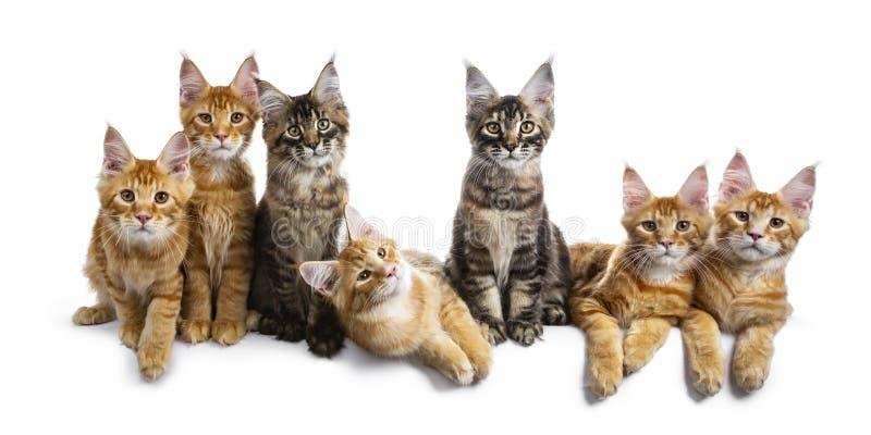 Rij/groep van zeven multi gekleurde die Maine Coon kat op witte achtergrond wordt geïsoleerd royalty-vrije stock fotografie