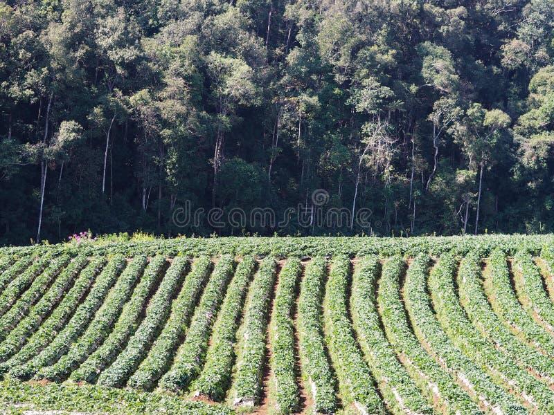 Rij van aardbeiaanplanting op de groene heuvel royalty-vrije stock afbeeldingen