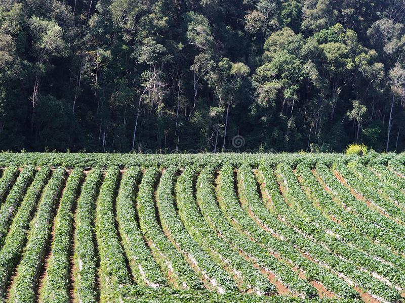 Rij van aardbeiaanplanting op de groene heuvel stock afbeeldingen