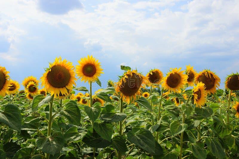 Rij van bloeiende zonnebloemen op een gebied tegen de hemel en de wolken royalty-vrije stock foto