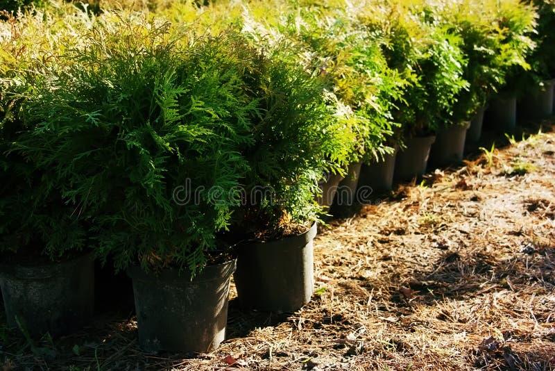 Rij van bloempotten met tuininstallaties De noordelijke wit-ceder van Thujaoccidentalis, oostelijke arborvitae of boom van het le royalty-vrije stock foto