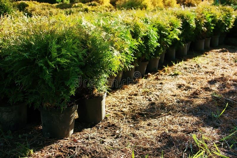 Rij van bloempotten met tuininstallaties De noordelijke wit-ceder van Thujaoccidentalis, oostelijke arborvitae of boom van het le stock afbeelding