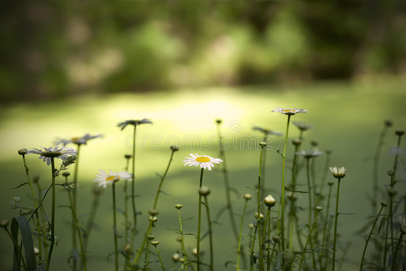 Rij van Daisy Flowers stock afbeelding