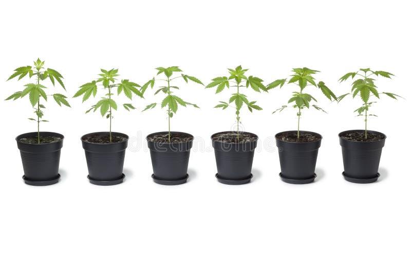 Rij van de installaties van de Marihuana in plastic pot royalty-vrije stock foto's