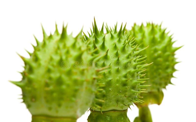 Rij van de komkommers van de duivel royalty-vrije stock afbeelding