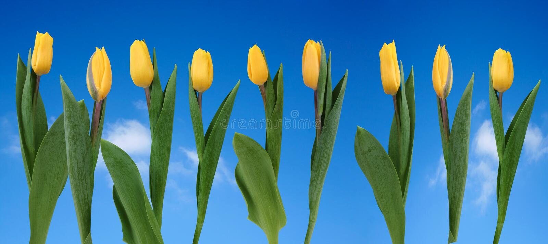 Rij van gele tulpen royalty-vrije stock foto's