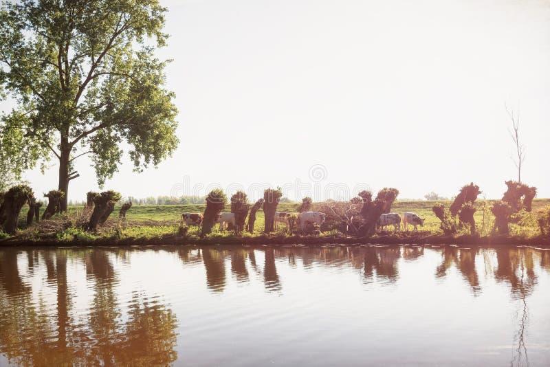 Rij van gesneden wilgen langs de rivier Linge in het Betuwe-gebied met een kudde van koeien die binnen - lopen tussen royalty-vrije stock afbeelding