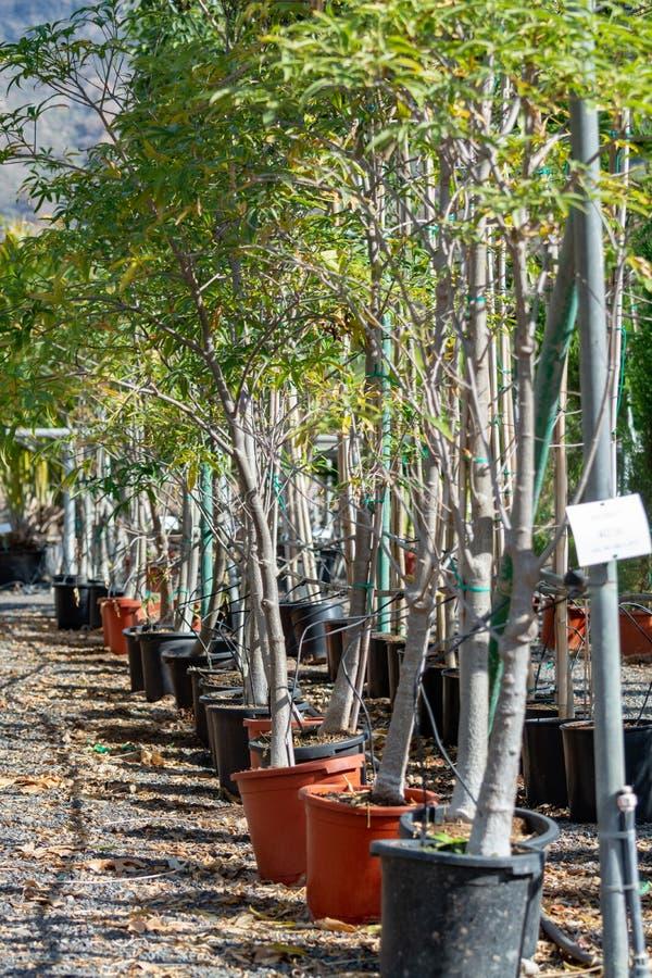 Rij van jonge exotische baobabbomen in emmers op verkoop in tuinwinkel, tropische decovative installatie voor tuinen en parken royalty-vrije stock afbeelding