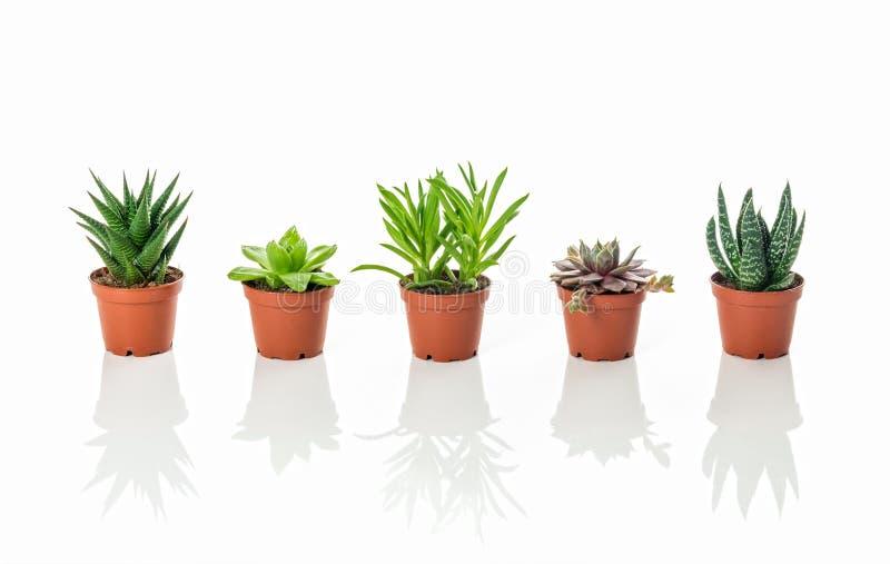 Rij van kleine succulente installaties met bezinningen royalty-vrije stock foto