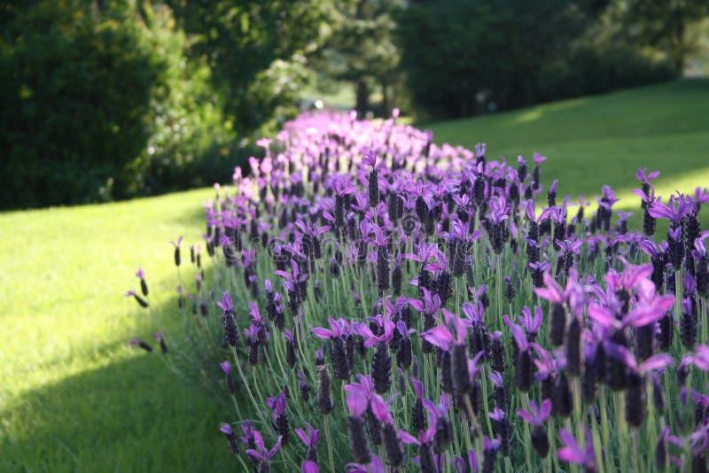 Rij Van Lavendel Stock Afbeelding
