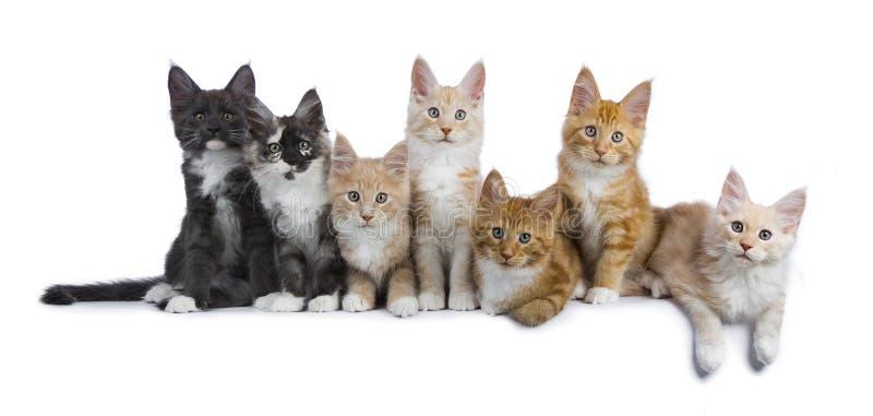 Rij van 7 Maine Coon-katjes op wit stock afbeelding