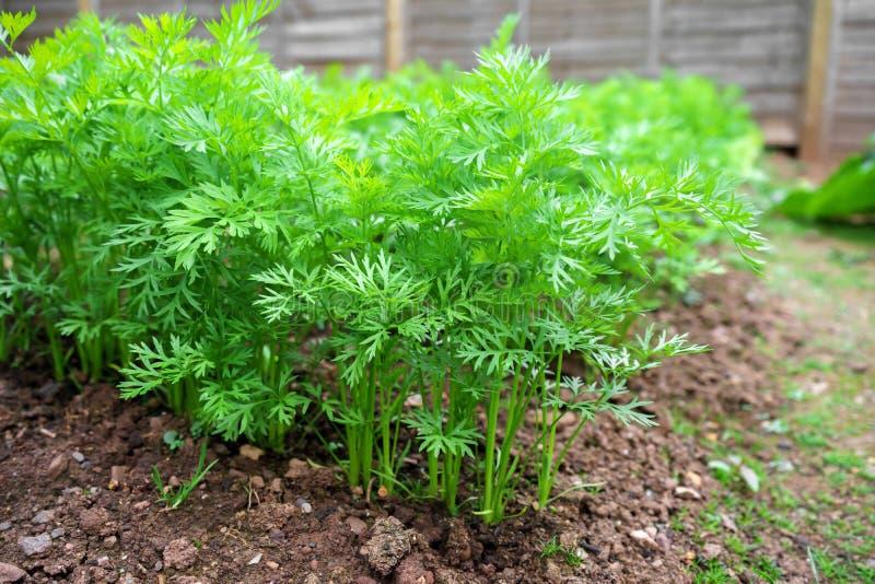 Rij van organische Jonge Wortelinstallaties in Plantaardig Bed in Tuin stock foto