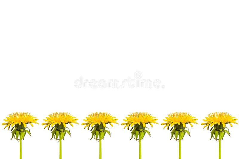 Rij van paardebloembloemen en bladeren op een witte achtergrond stock fotografie