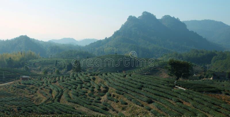Rij van theebomen in landbouwbedrijf stock fotografie