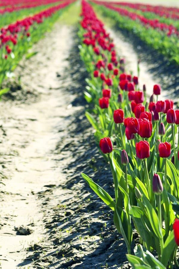 Rij van tulpen stock fotografie