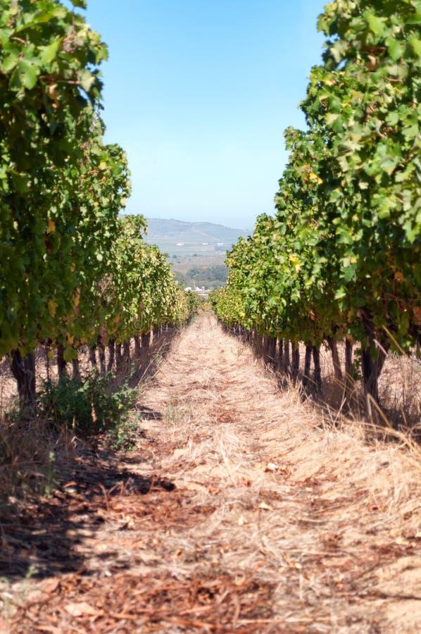 Rij van wijnstokken stock afbeeldingen