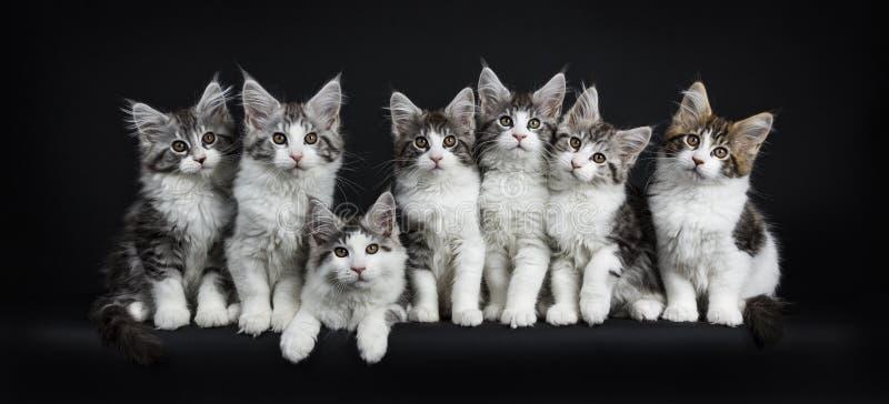 Rij van zwarte gestreepte kat zeven met witte Maine Coons-katten stock foto