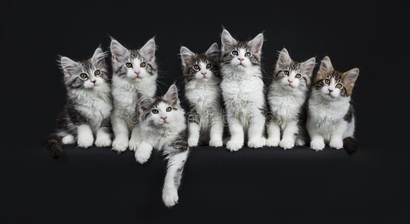 Rij van zwarte gestreepte kat zeven met witte Maine Coons-katten stock afbeelding