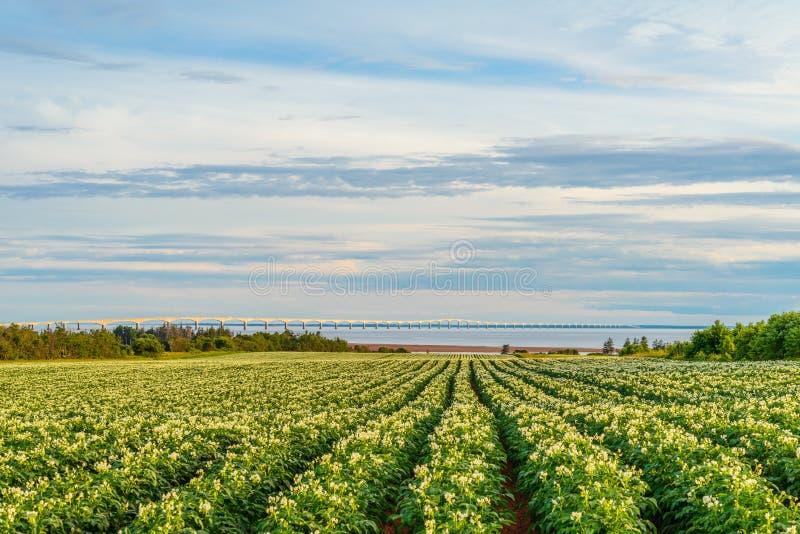 Rijen van aardappelplanten op een aardappelgebied met de Federatie B stock foto